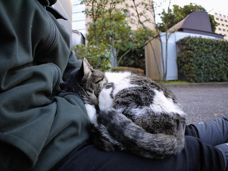 膝で寝ているキジ白猫の寝顔1