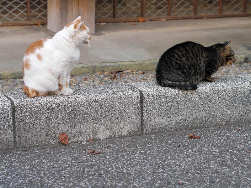 縁石上の白茶猫とキジトラ猫1