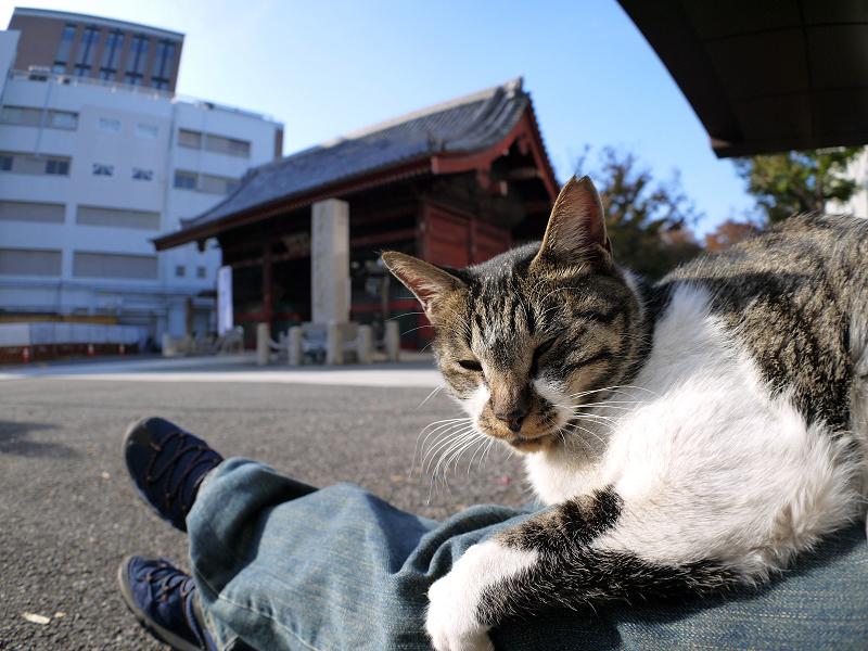 膝に乗ったキジ白猫2