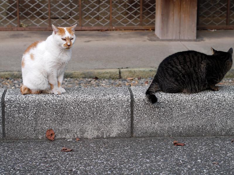 縁石上の白茶猫とキジトラ猫2