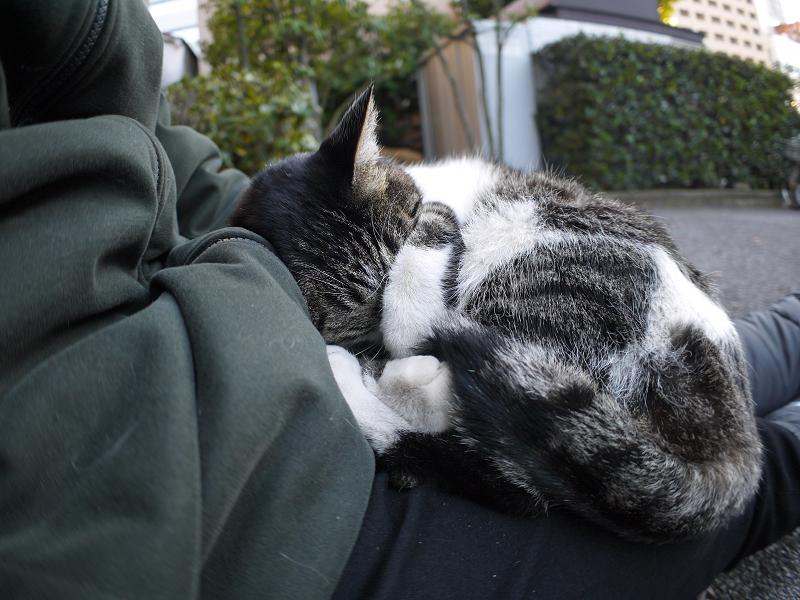 膝で寝ているキジ白猫の寝顔3