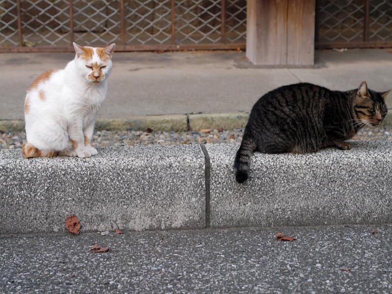 縁石上の白茶猫とキジトラ猫3