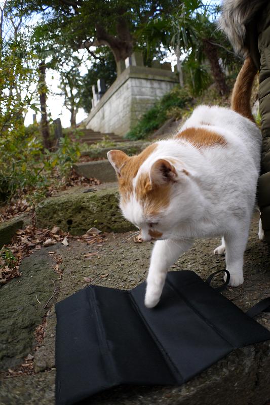 黒いクッションに座る白茶猫1