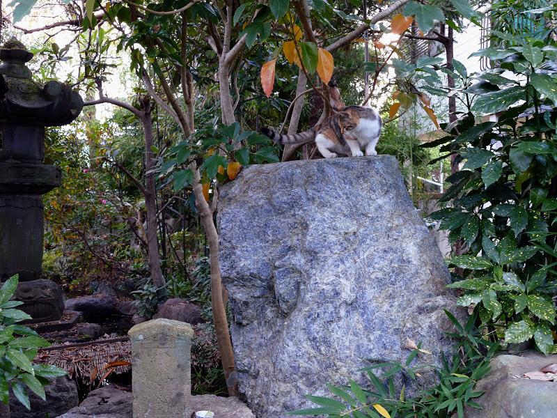 岩に着地した三毛猫1