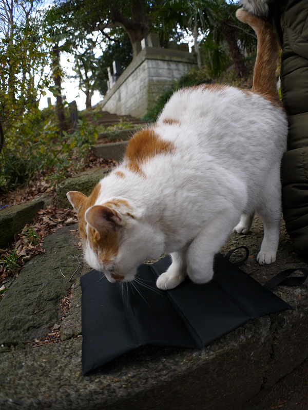 黒いクッションに座る白茶猫2