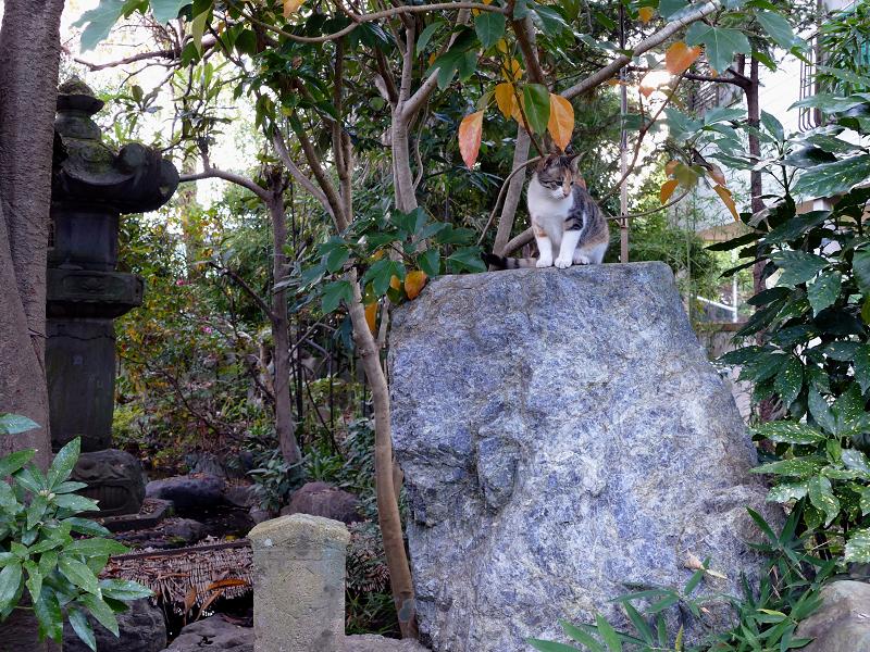 岩に着地した三毛猫2