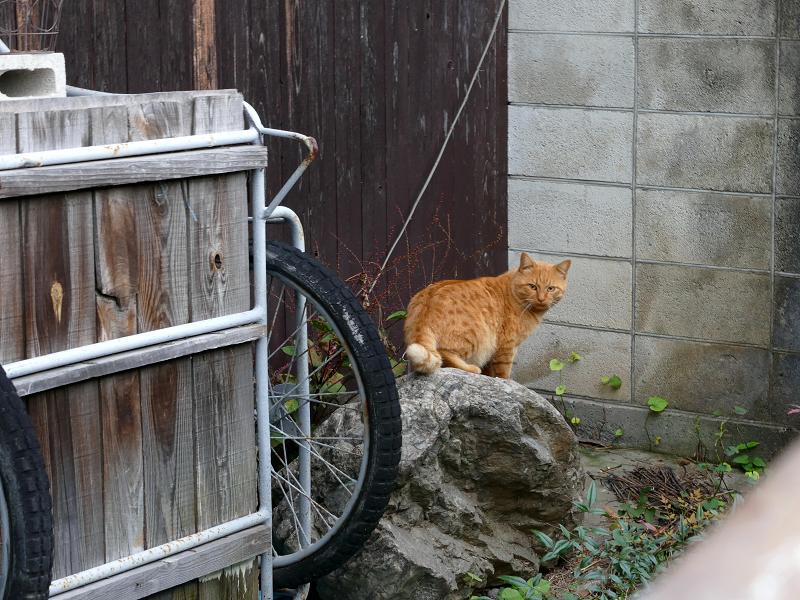 リアカー置き場の茶トラ猫2