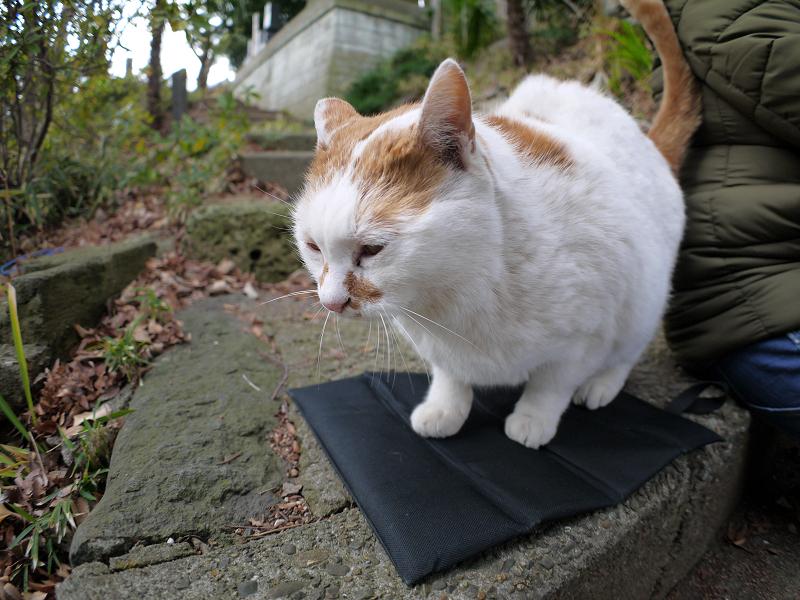 黒いクッションに座る白茶猫3