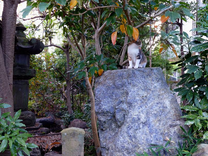 岩に着地した三毛猫3