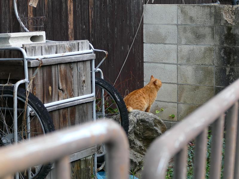 リアカー置き場の茶トラ猫3