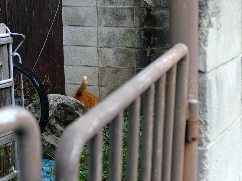 リアカー置き場の茶トラ猫4