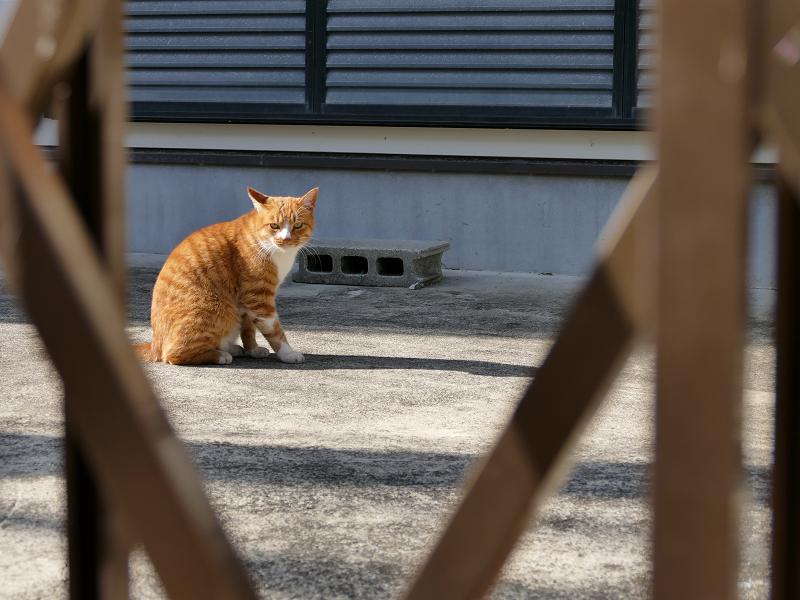 門扉の向こうの茶白猫1