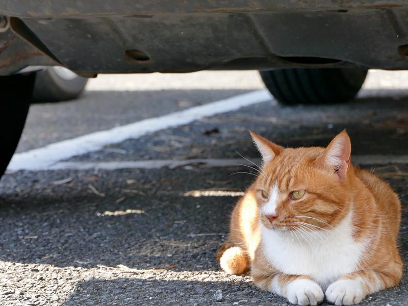 車の下から動かない茶白猫1