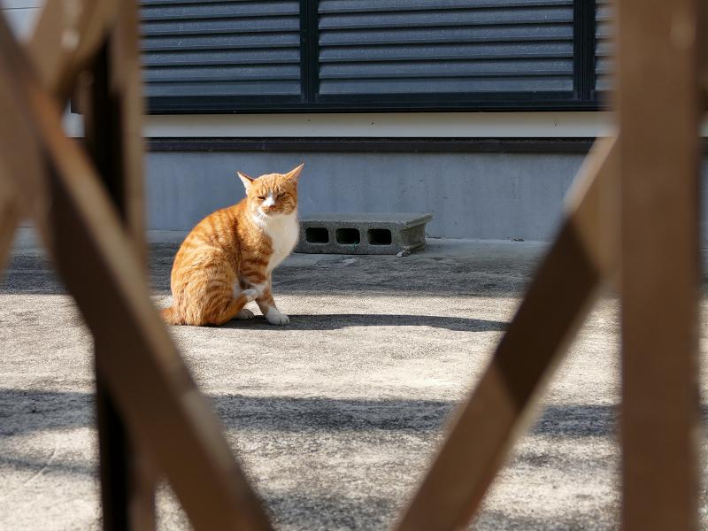 門扉の向こうの茶白猫2