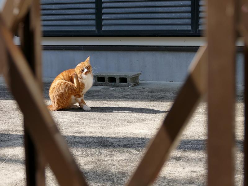 門扉の向こうの茶白猫3