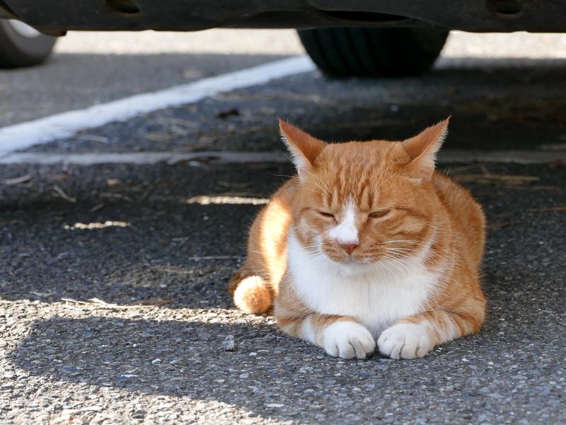 車の下から動かない茶白猫3