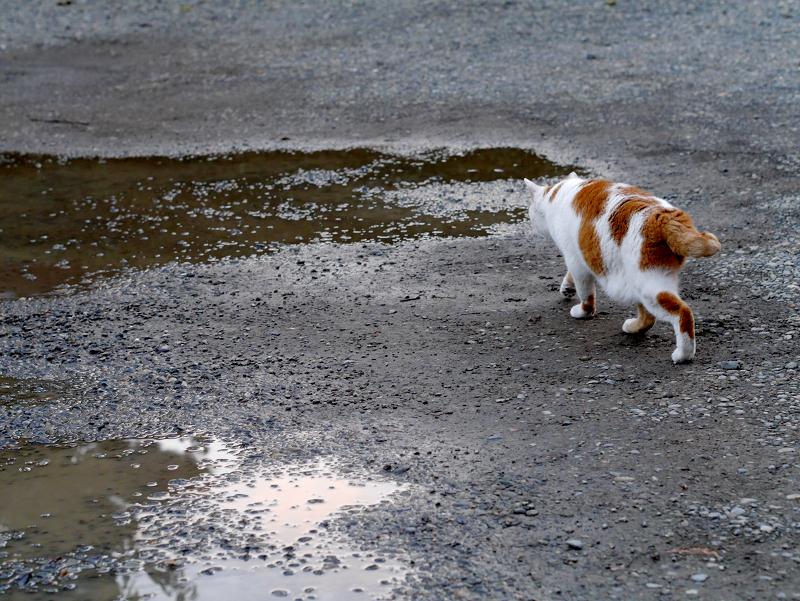雨水を飲んでる白茶猫1