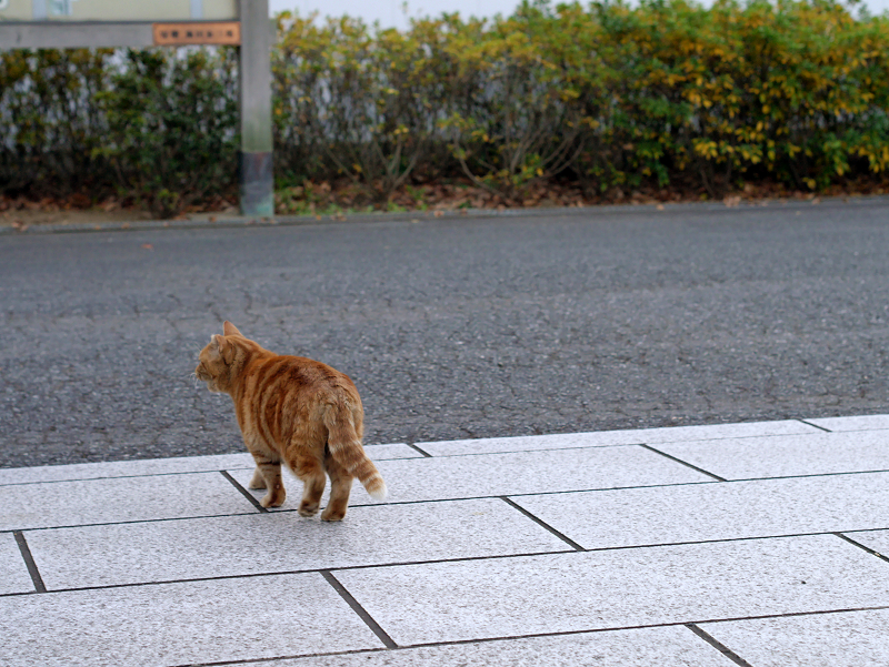石畳とアメショー風の猫