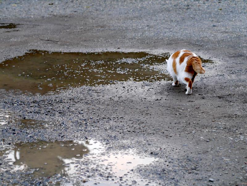 雨水を飲んでる白茶猫2