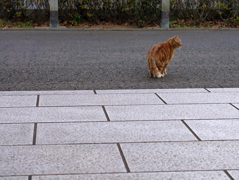 石畳とアメショー風の猫1