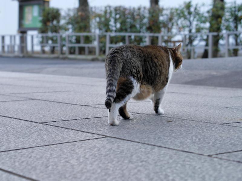 参道を渡る猫2