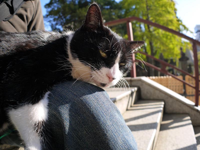 膝に乗って微睡んでる黒白猫1