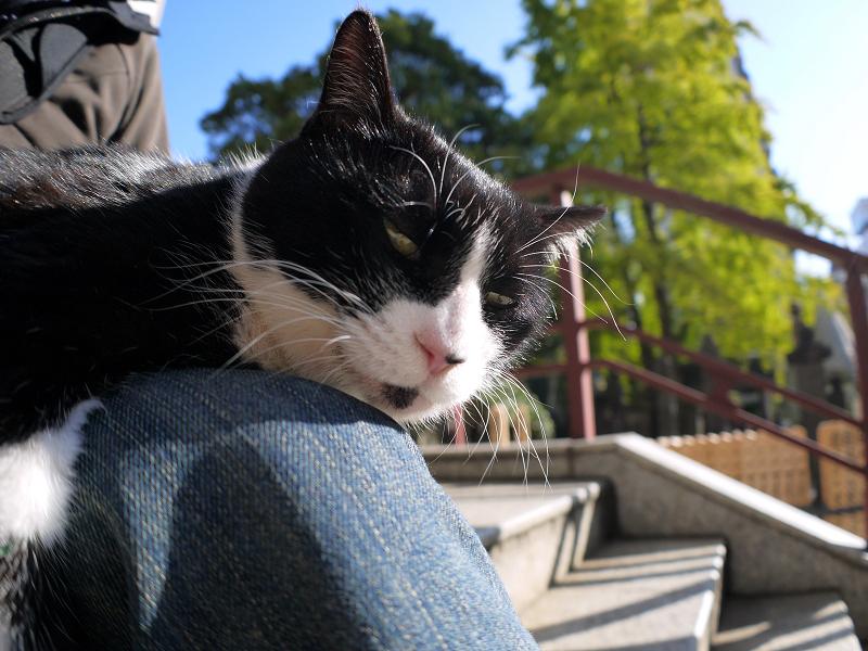 膝に乗って微睡んでる黒白猫2