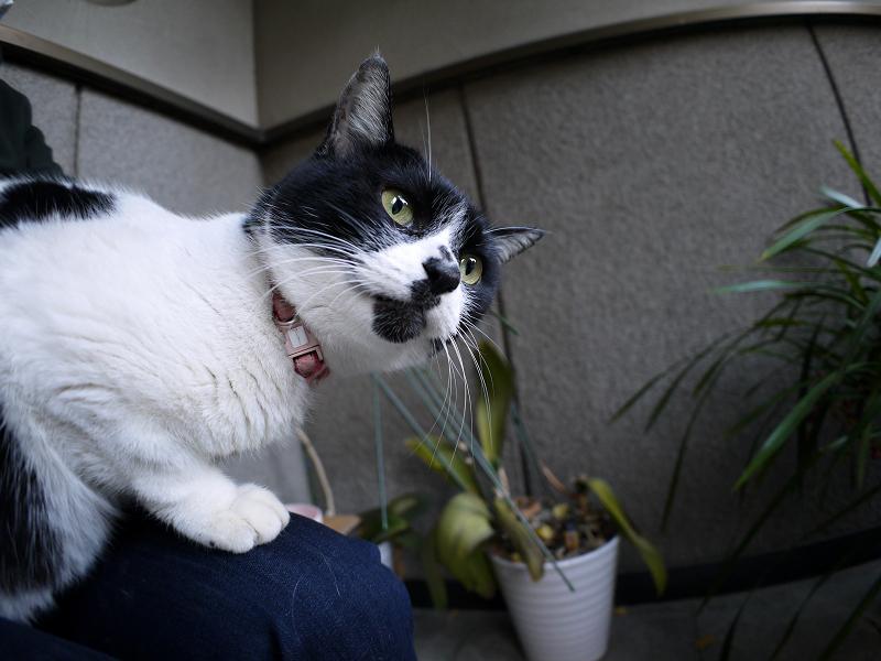 膝に乗って境内を見てる白黒猫3