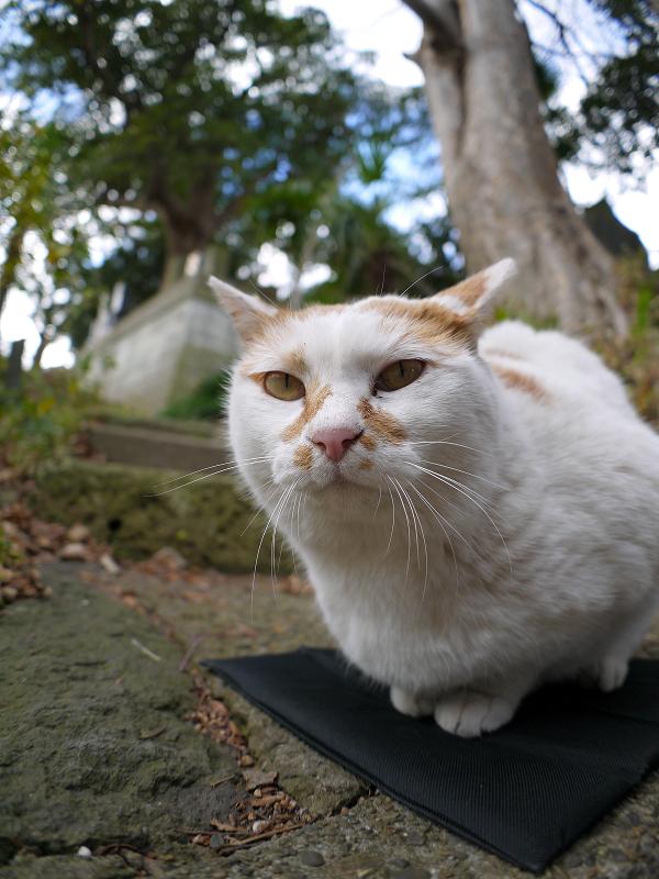 クションで落ち着いてる茶白猫1