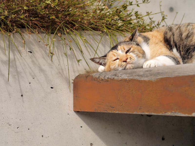 ベンチで悶絶三毛猫1
