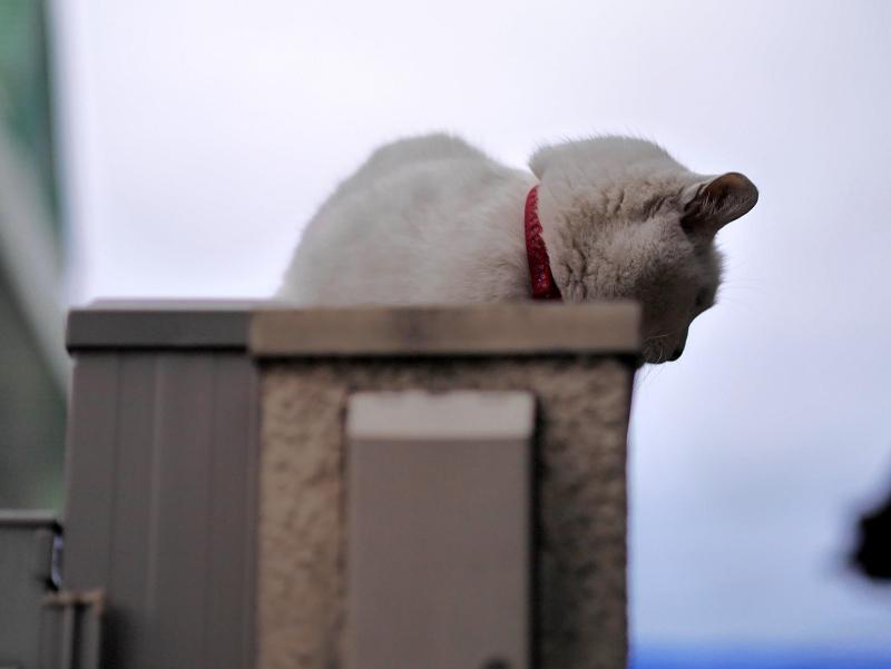 塀の上の白黒猫1
