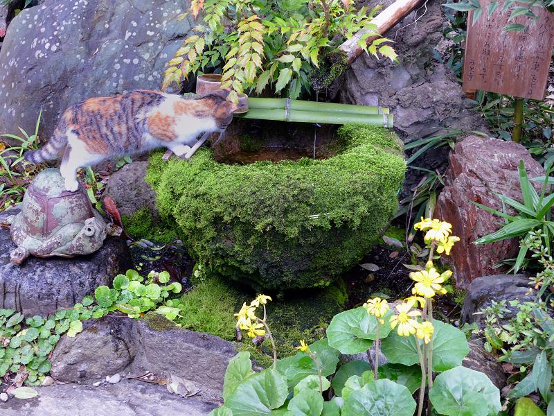 ツクバイから水を飲んでる三毛猫1