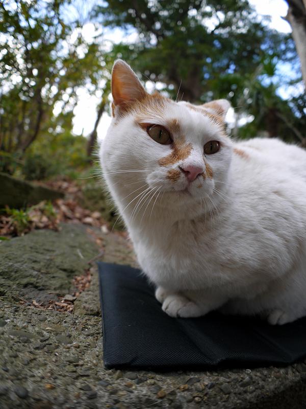クションで落ち着いてる茶白猫2