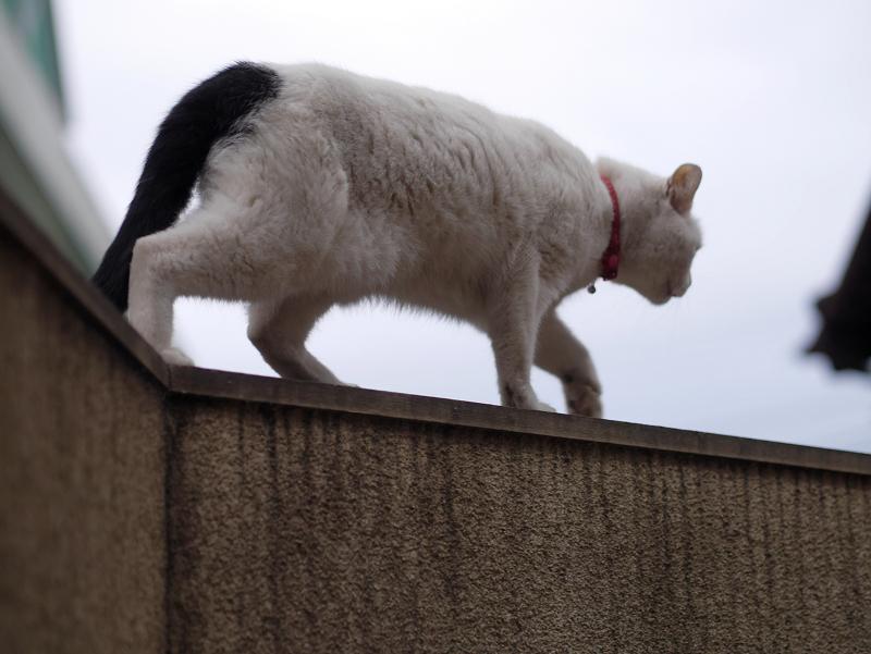 塀の上の白黒猫2