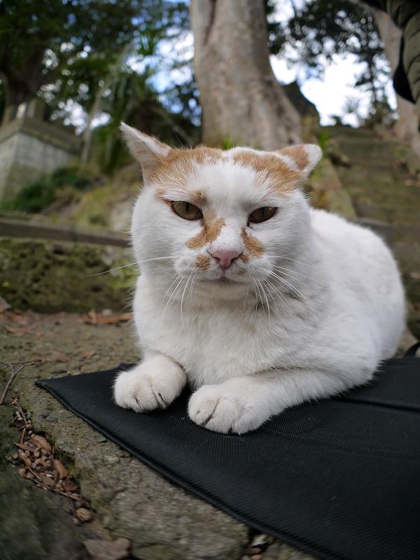 クションで落ち着いてる茶白猫3