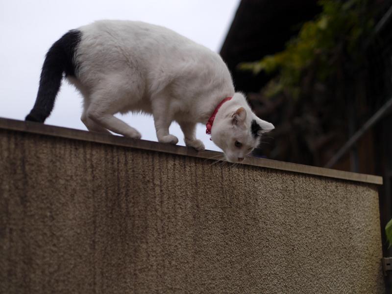 塀の上の白黒猫3