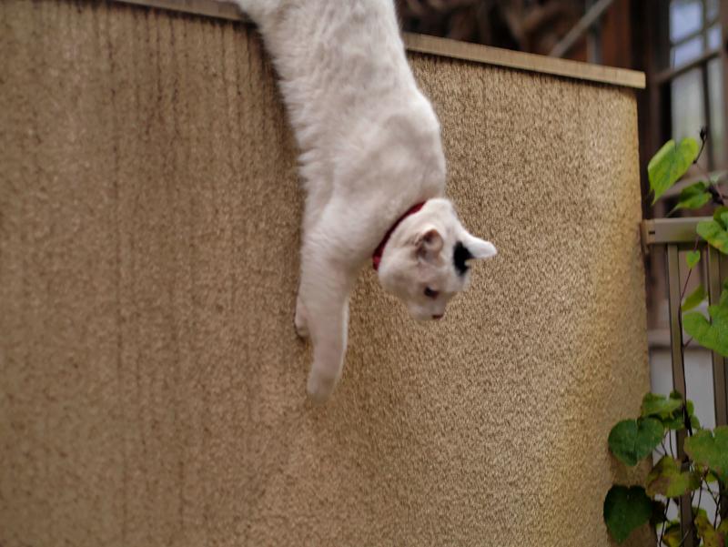 塀の上の白黒猫4