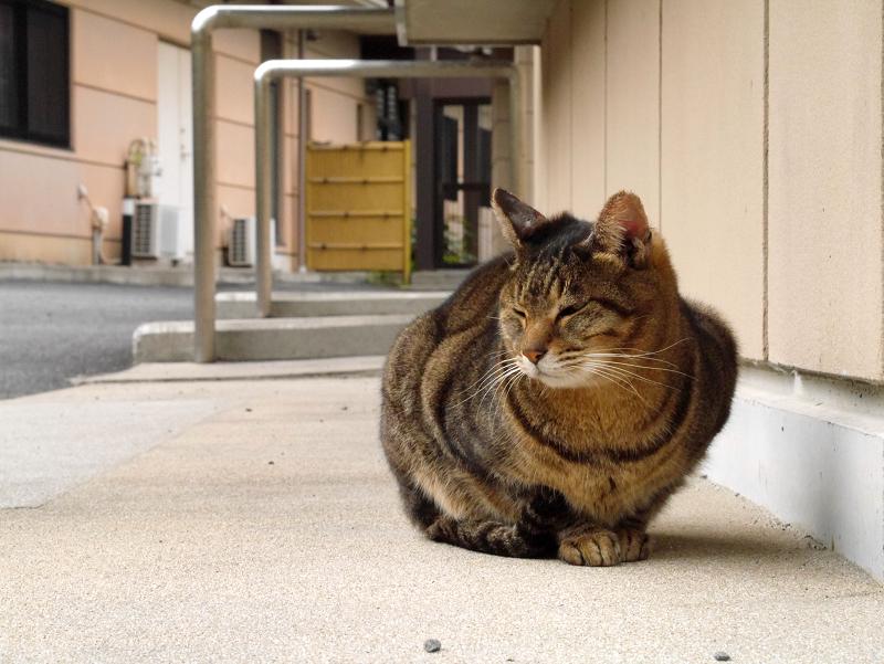そっけないキジトラ猫1