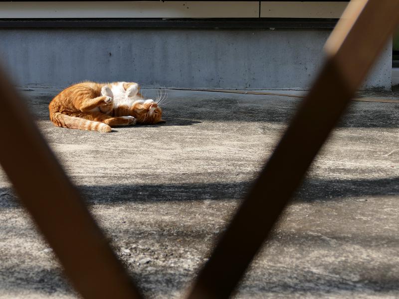 門扉の向こうで転がる茶白猫1