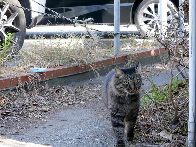 細い道から出て来たキジトラ猫1
