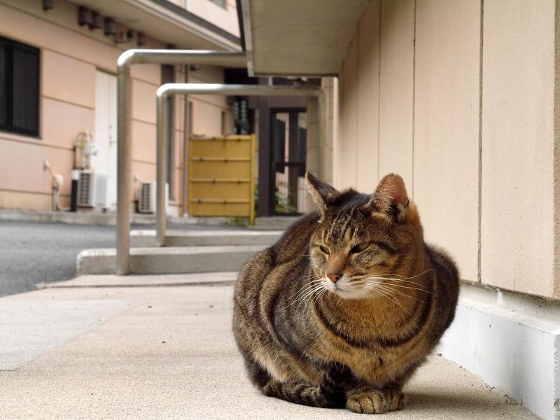 そっけないキジトラ猫2