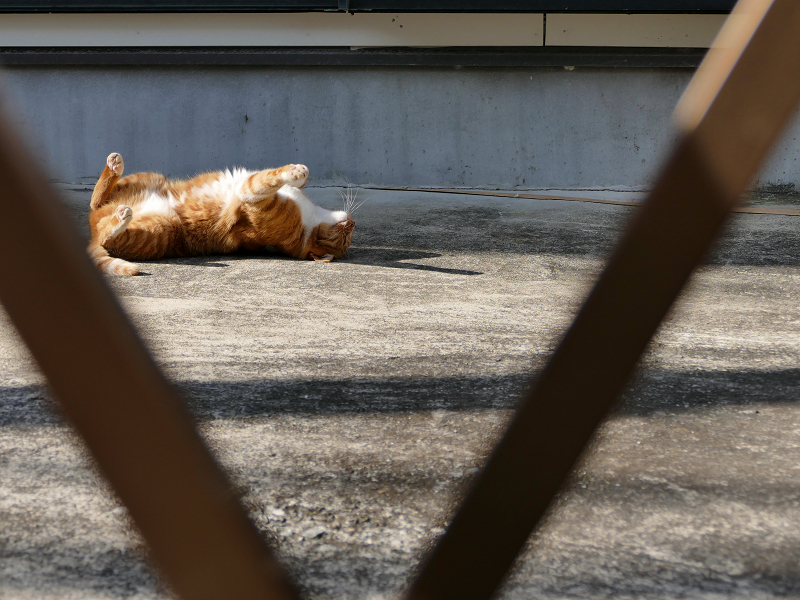 門扉の向こうで転がる茶白猫2