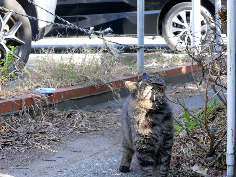 細い道から出て来たキジトラ猫2