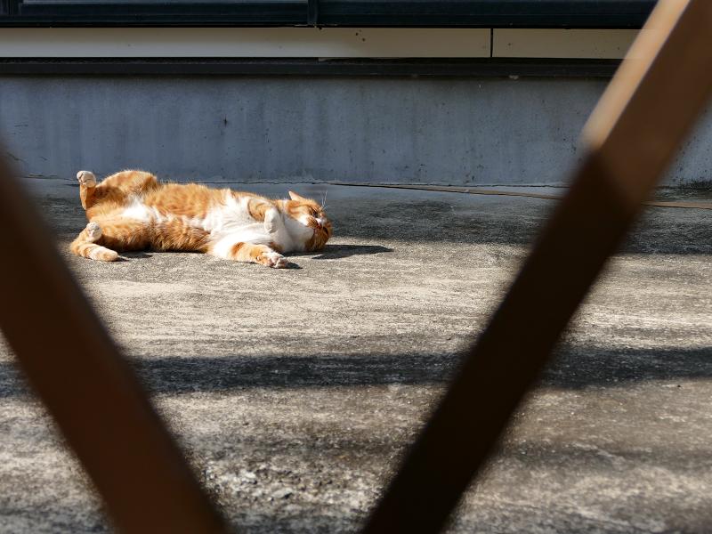 門扉の向こうで転がる茶白猫3