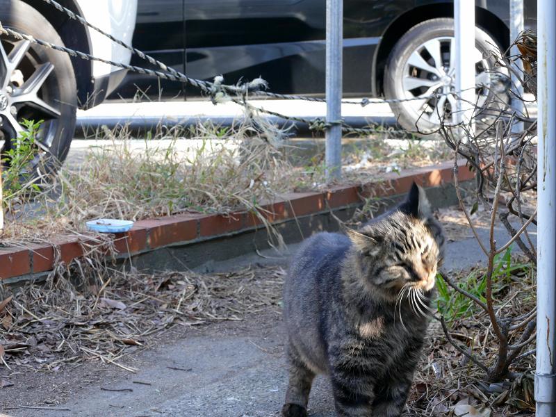 細い道から出て来たキジトラ猫3