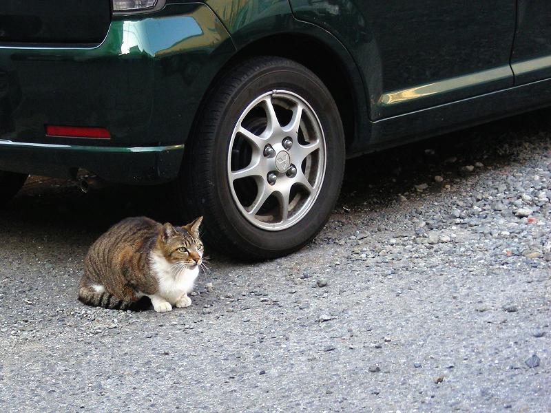 青空駐車場のキジ白猫1