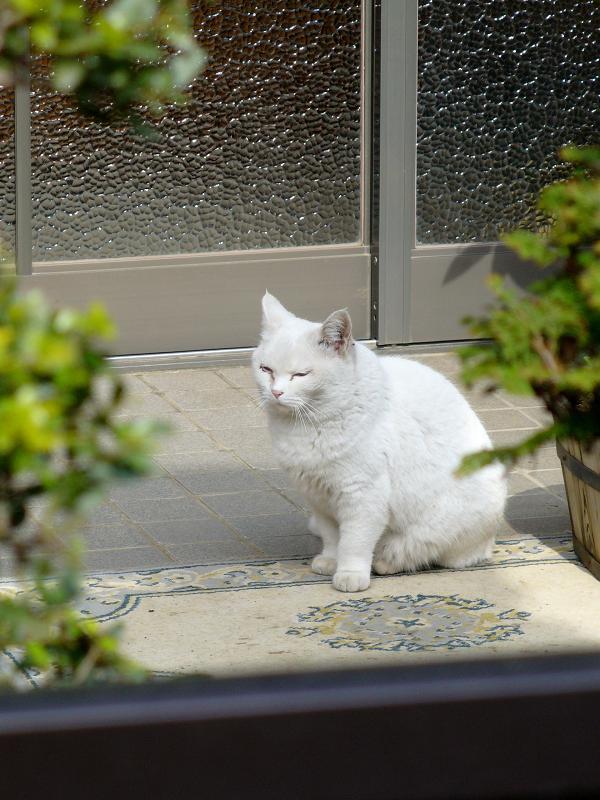 玄関先の白猫オッドアイ1