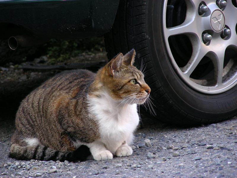 青空駐車場のキジ白猫2
