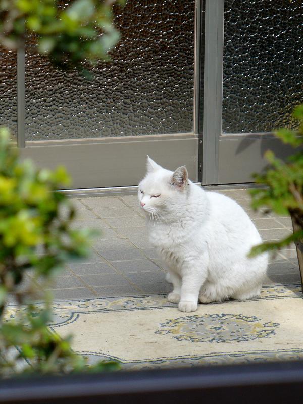 玄関先の白猫オッドアイ2