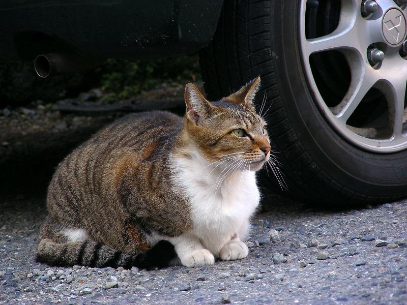 青空駐車場のキジ白猫3